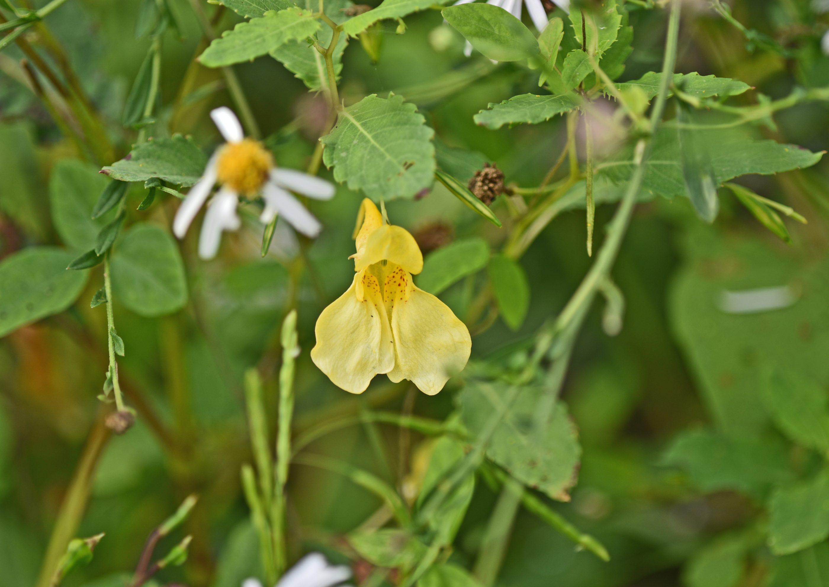 ⇑ こんな黄色もありました。道端の小さな花。