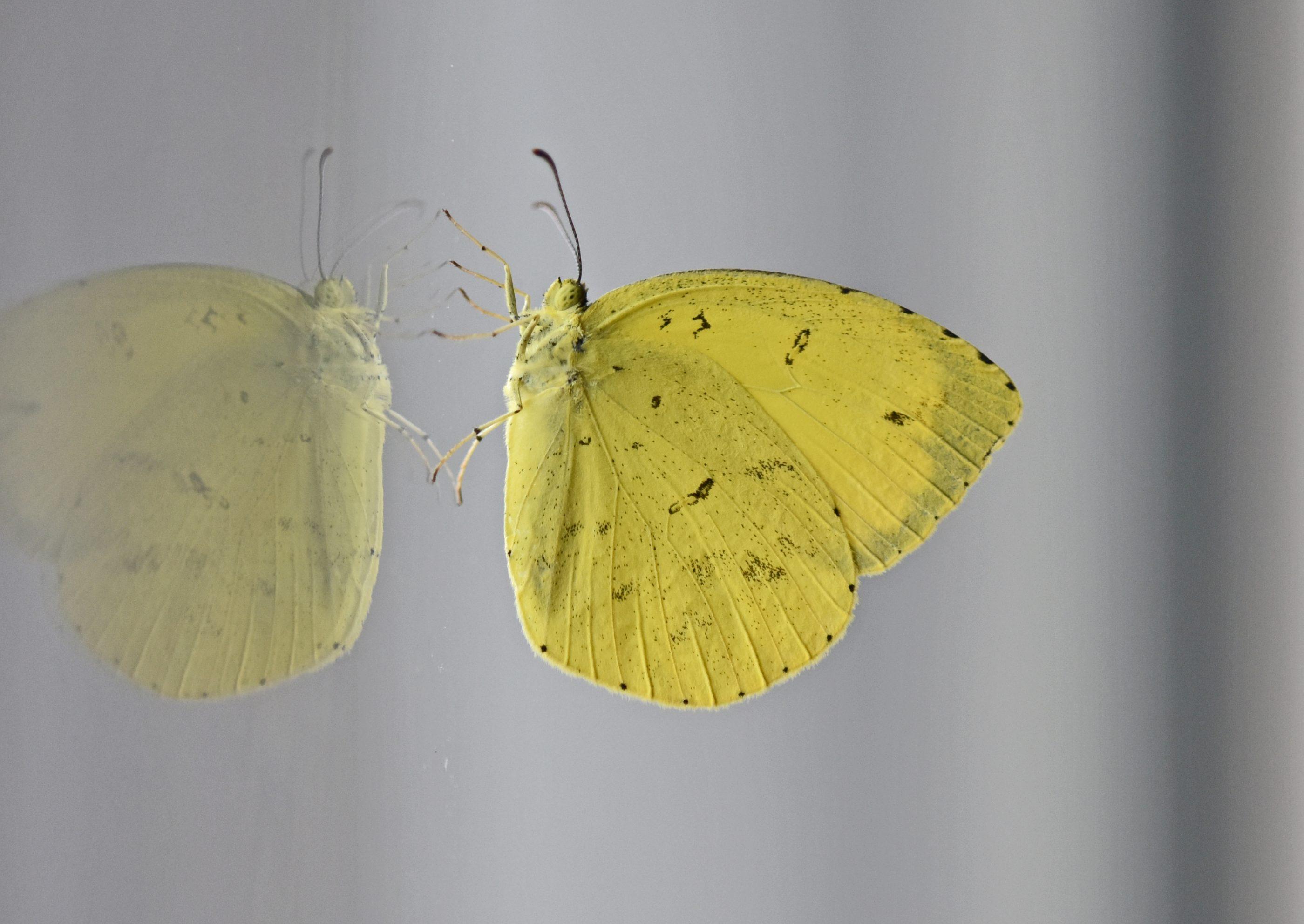 ⇑ キタキチョウ  出現が遅いと思っていたがようやく出てきたようです。モンキチョウなどの黄色と違って真っ黄色 綺麗ですぐ分かります。