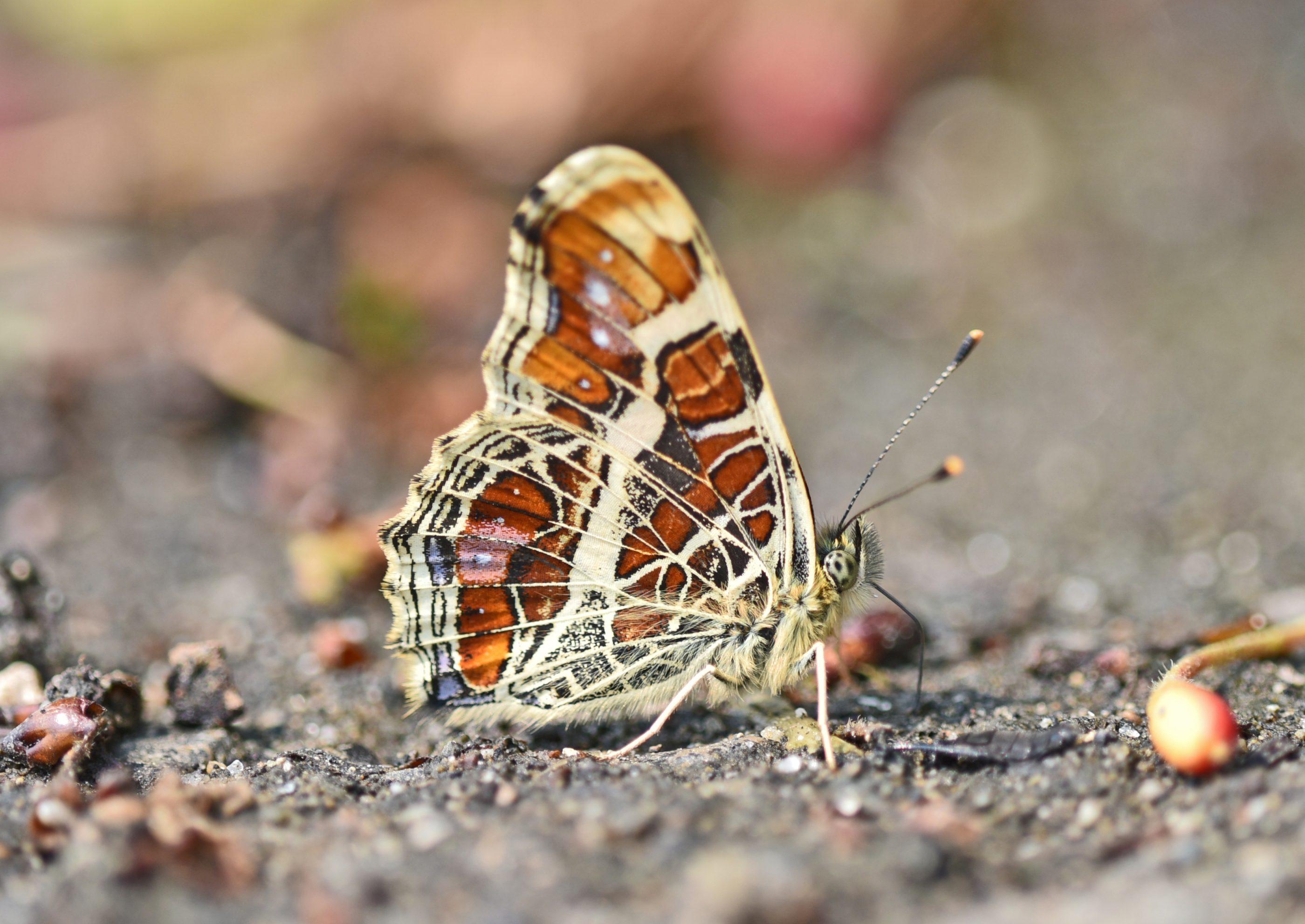 ⇑ サカハチチョウ