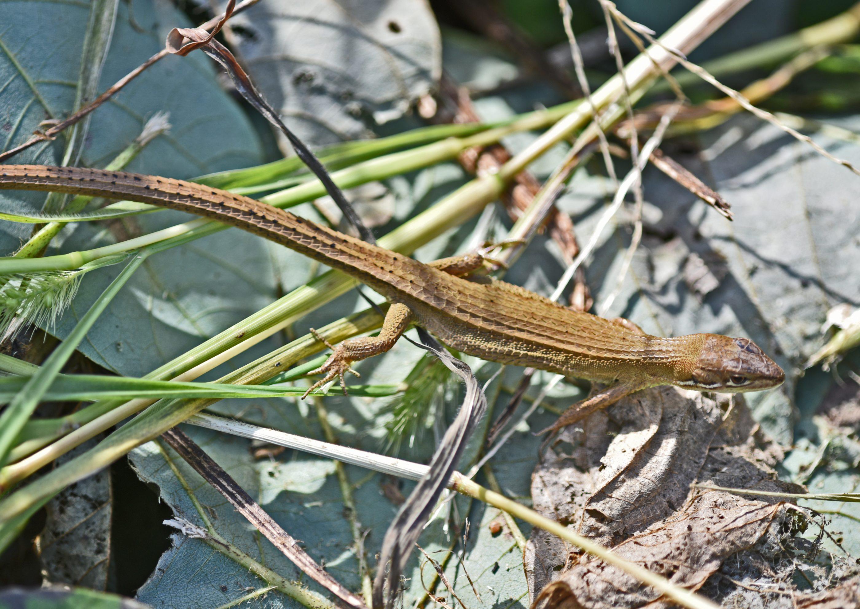 ⇑ これがカナヘビです。トカゲのように光沢が無いのが特徴です。