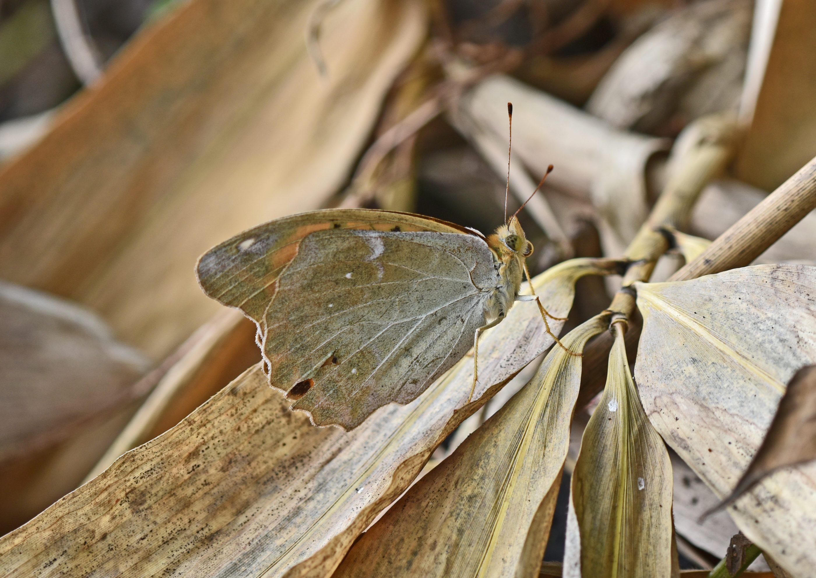 ⇑ クモガタヒョウモン 普通のとはちょっと違って翅裏全体が白くて雲状