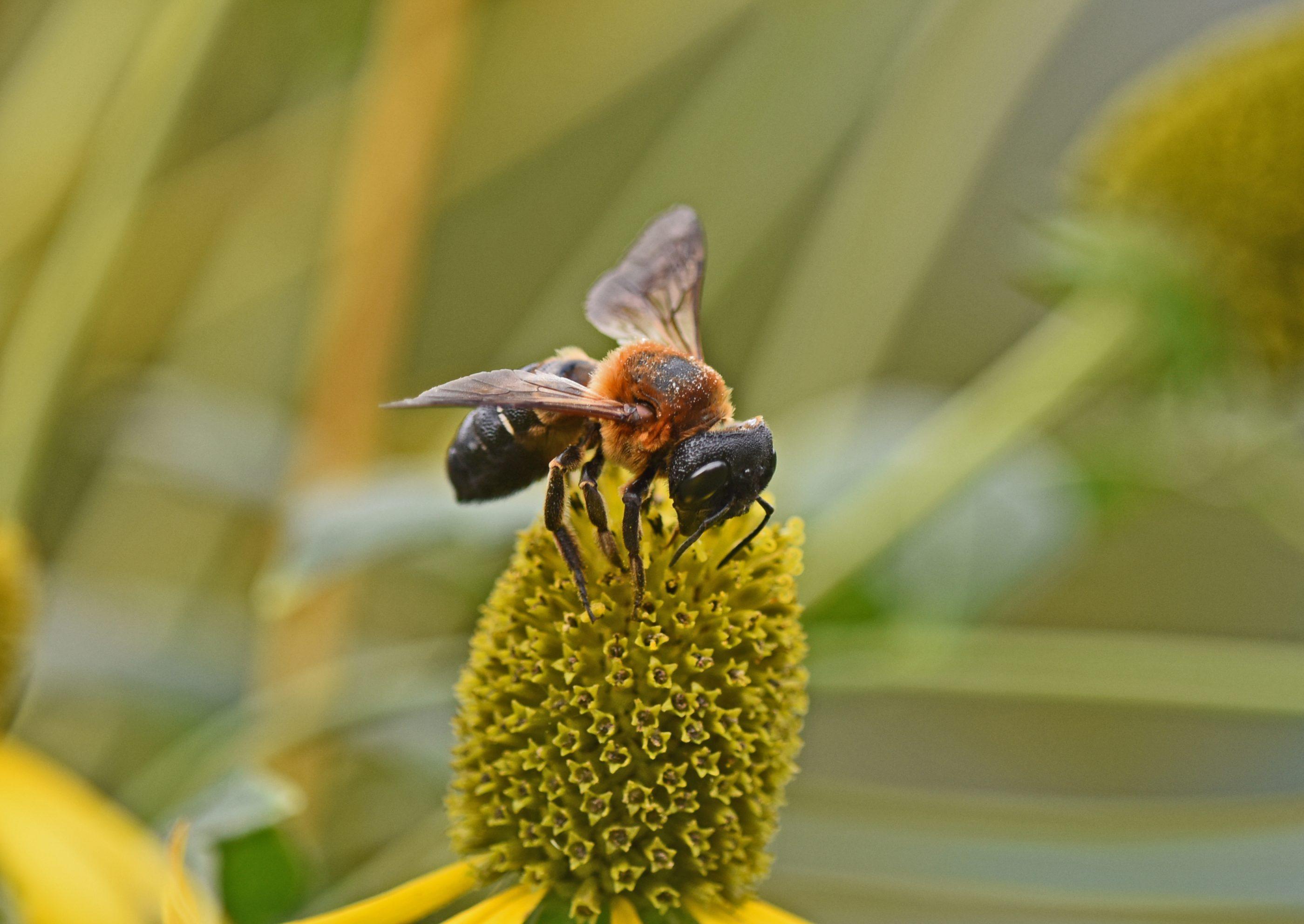 ⇑ ネットで名前を調べたらオオハキリバチと有ります。正しいでしょうか。クマバチを細長くした感じです。