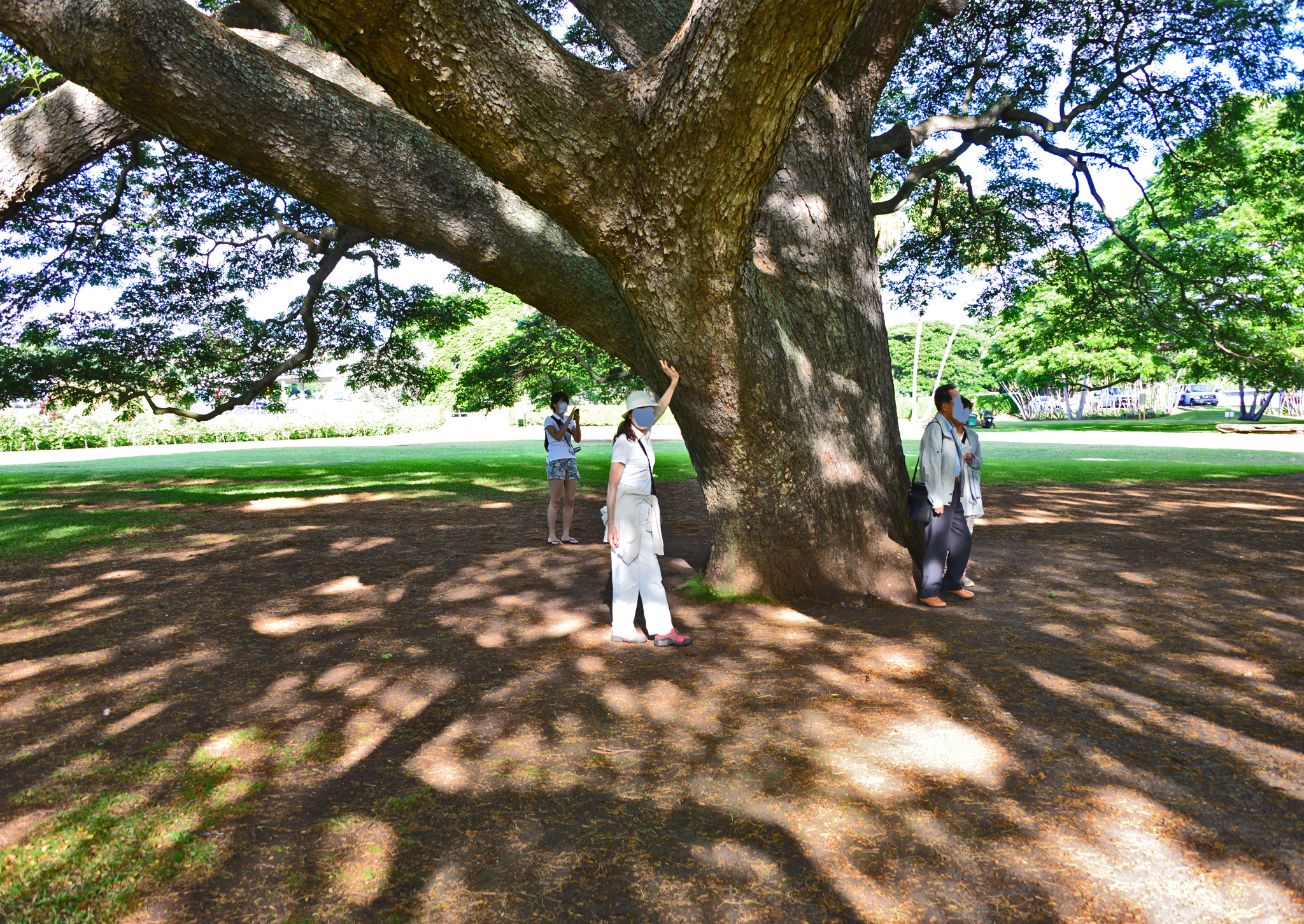 ⇑ こんなに太く大きな木でした。因みにハワイでは極普通にある木でした