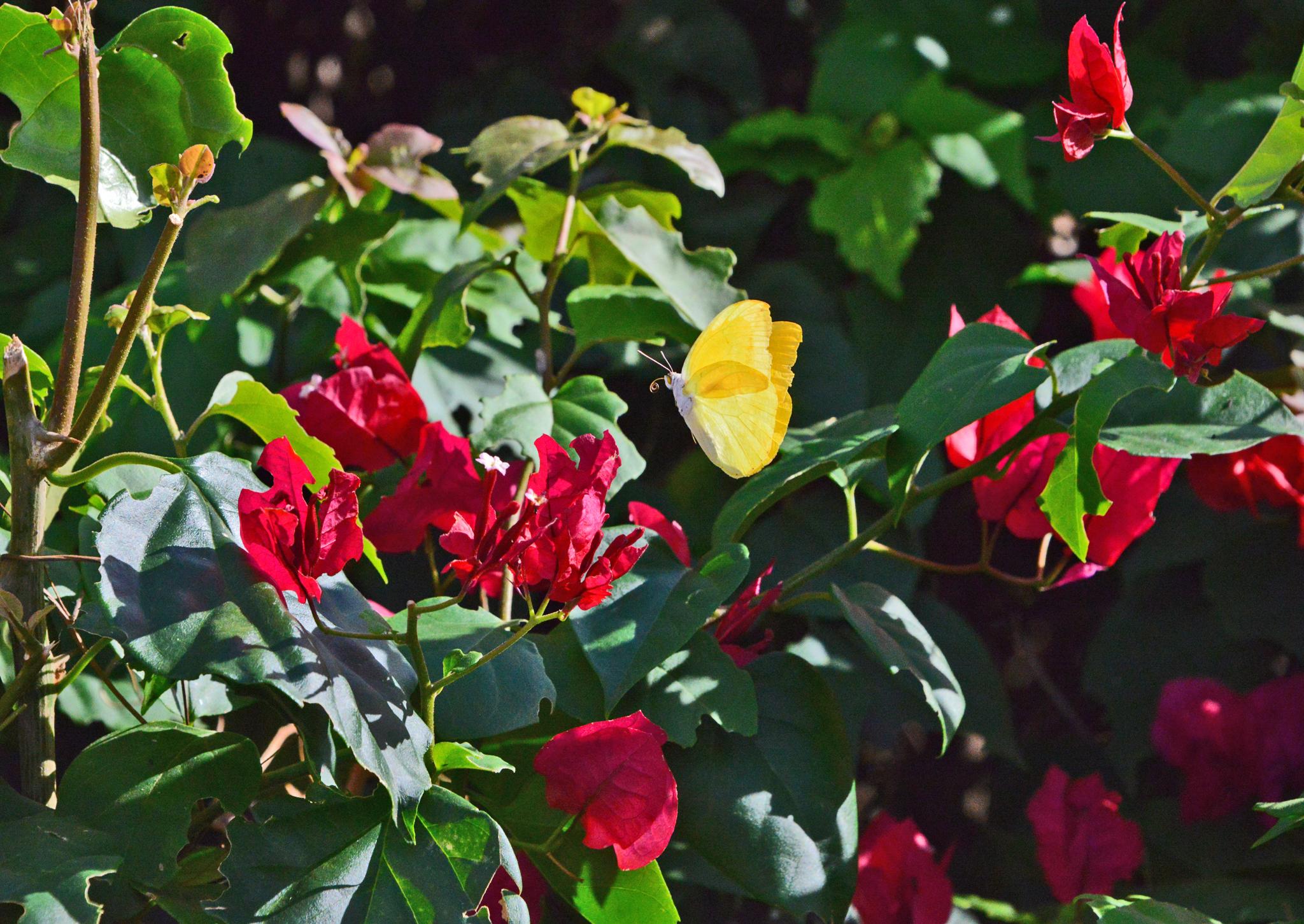 ⇑ ウスシロキチョウ若しくはその仲間 模様が全く無くシンプルだが黄色が本当に綺麗